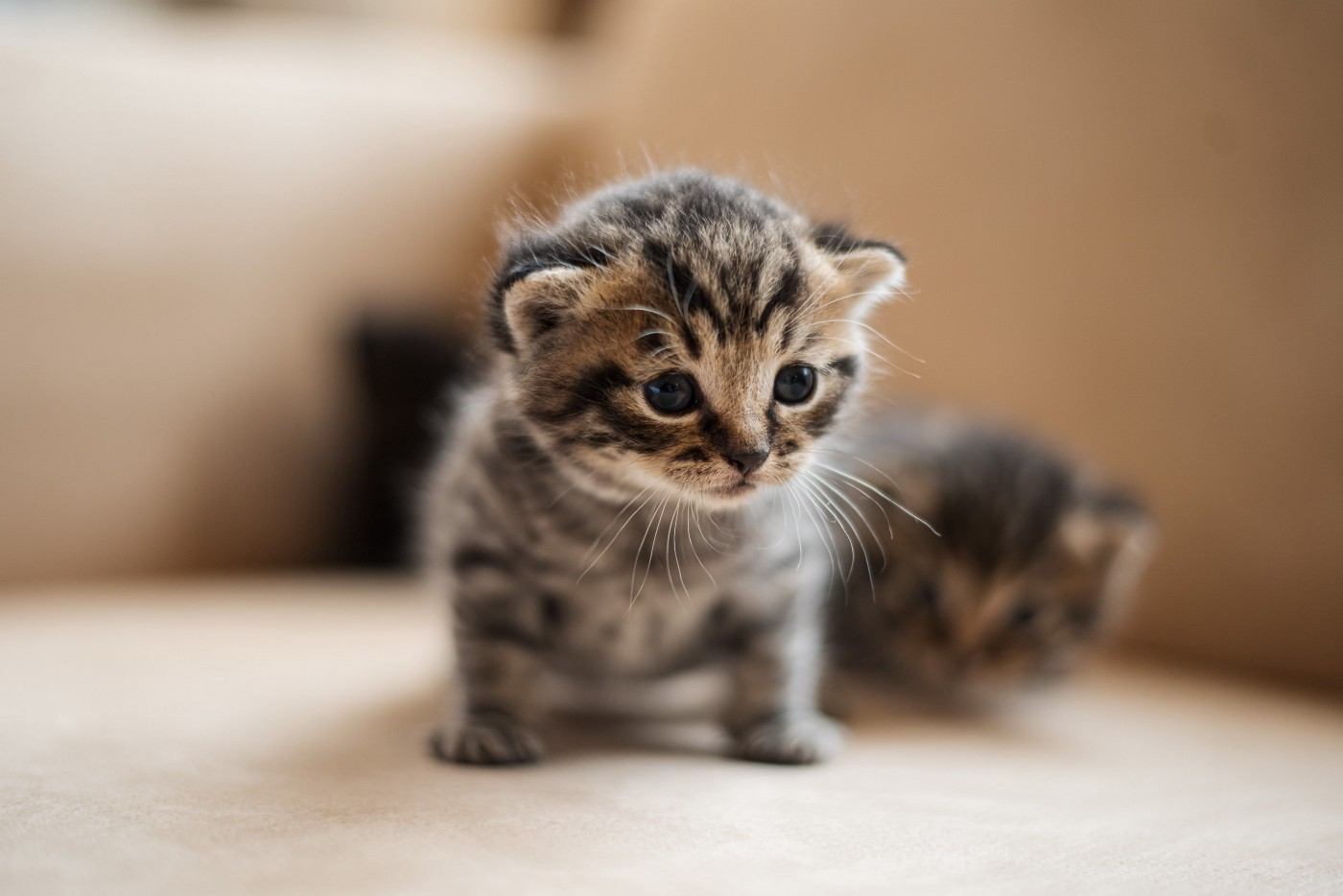 Tiny kitten looking worried, face in focus. Another fuzzy kitten behind on the same couch