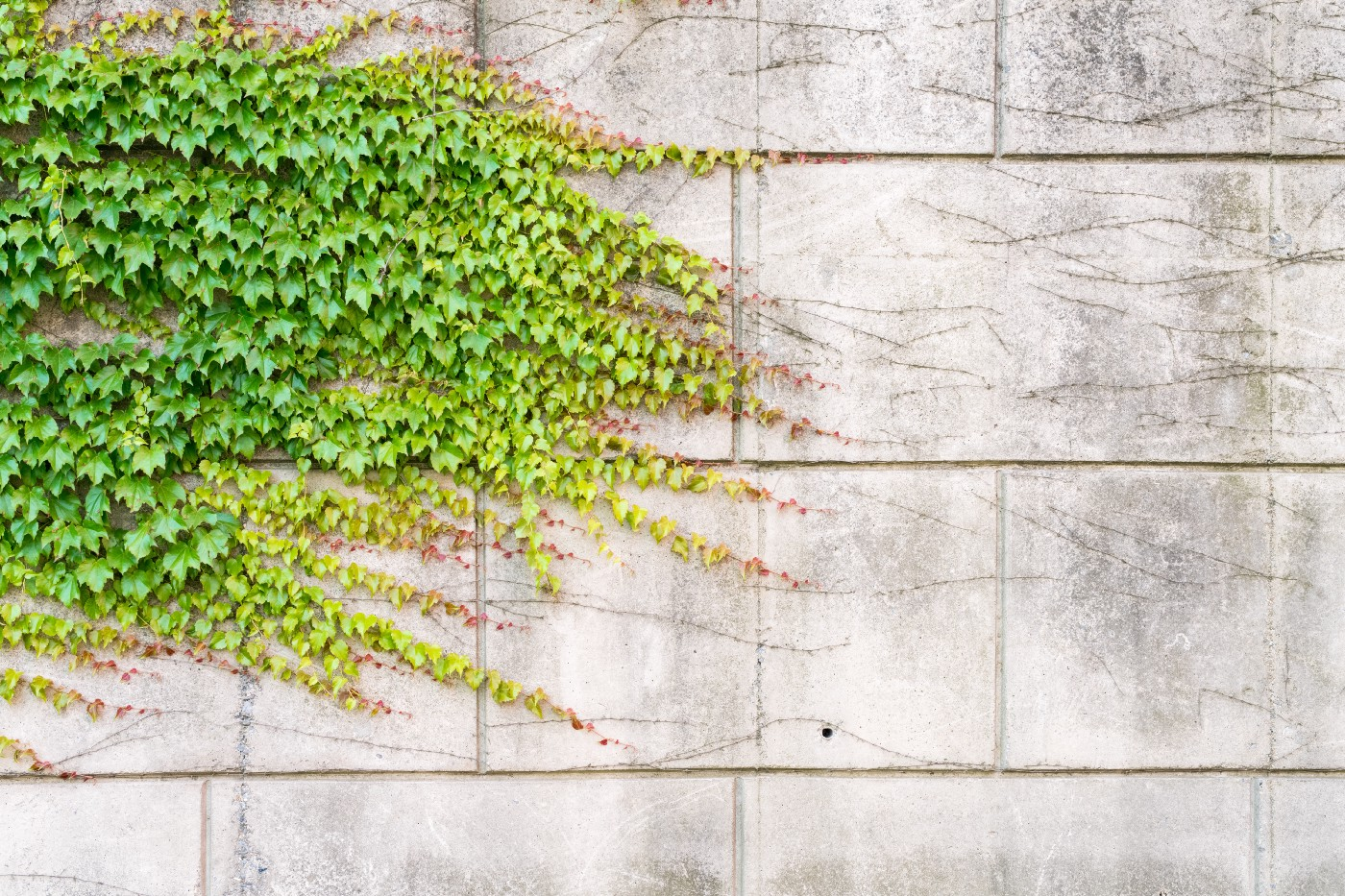 A stone wall with a creeping vine.