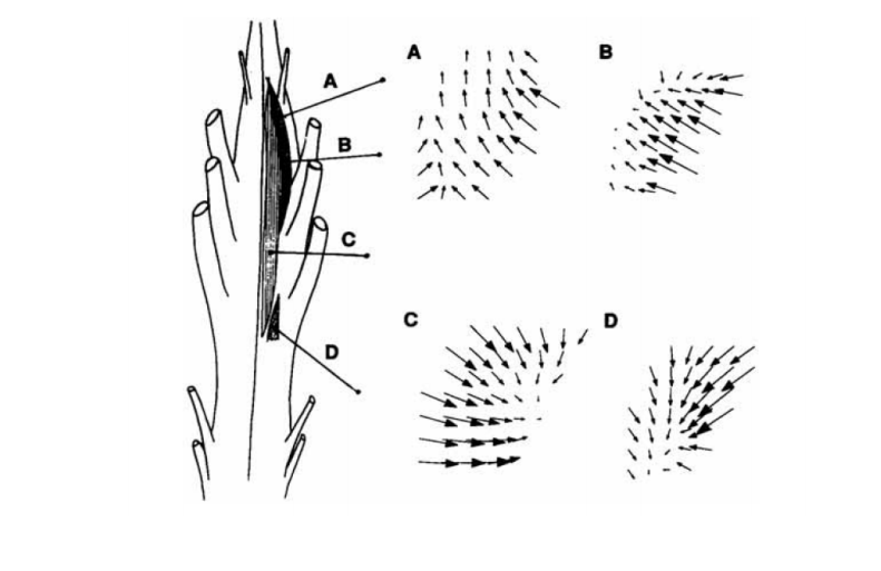 Spinal cord region with neural circuits for the force fields