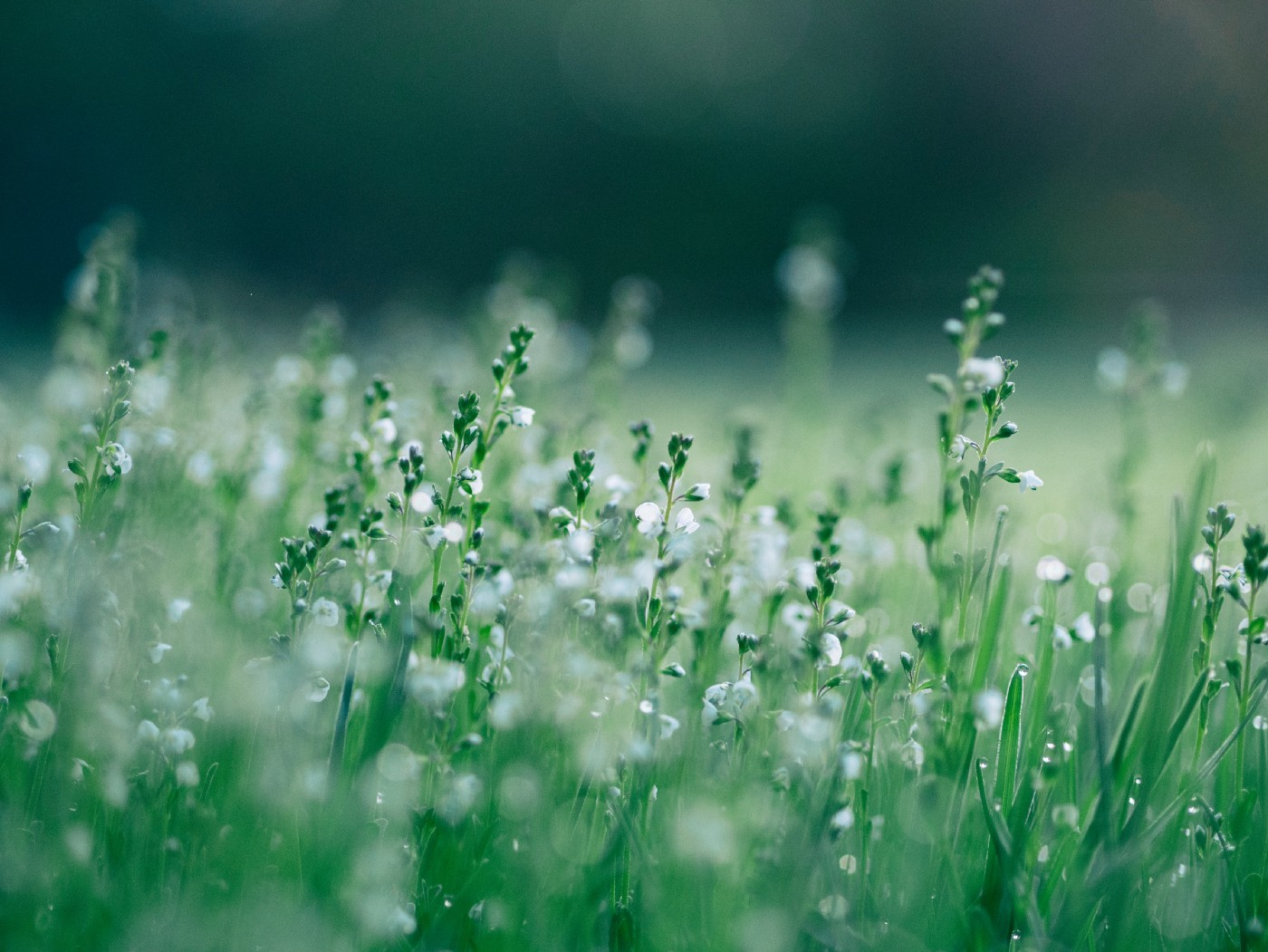 Green grassy field with little white flowers