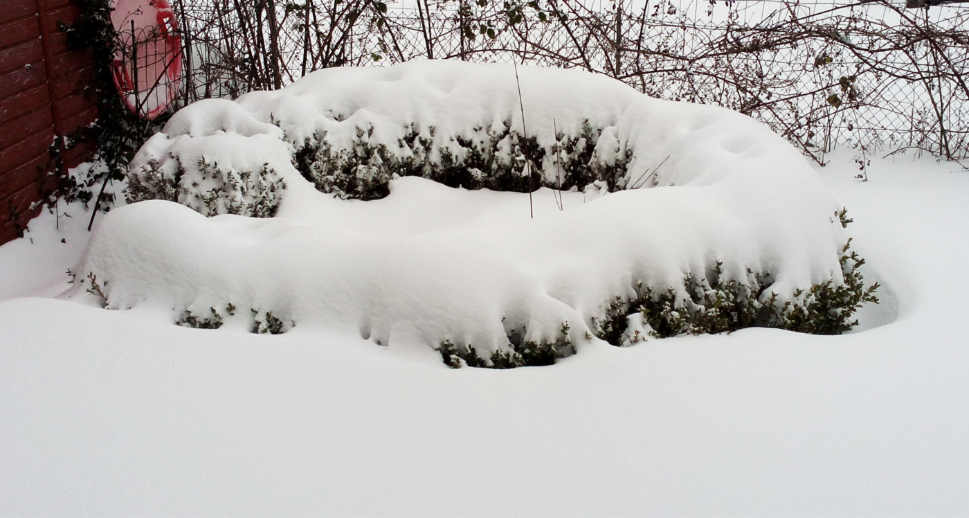 An image of a small hedge almost completely covered in snow.