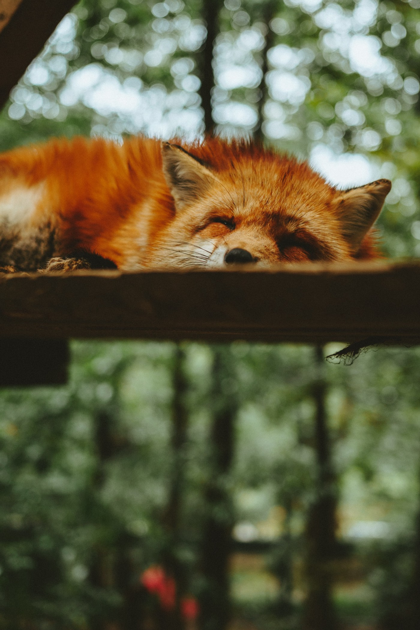 Sleeping red fox on a wood plank with lush trees in the background