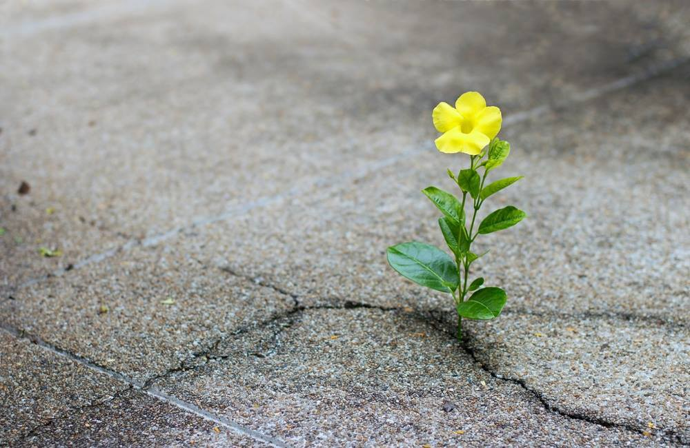 A yellow buttercup grows within a crack in a paved street.