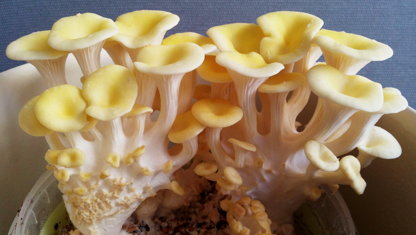 An image of fully-grown Lemon Oyster Mushrooms, they grow in a cluster and have white stems and yellow caps.