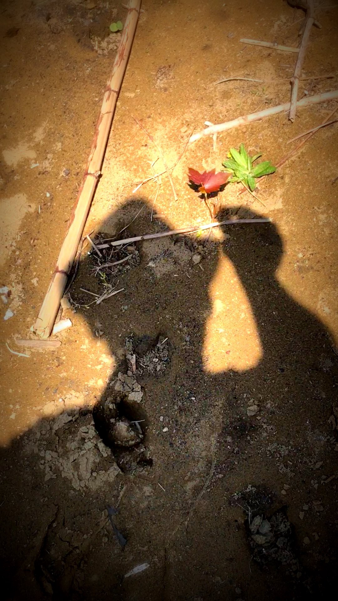 Photograph of my shadow grasping a seedling