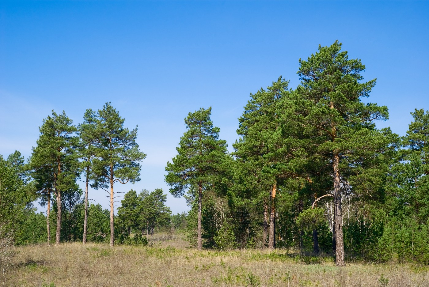 Photo of six pine trees in the foreground, with more ranged behind them immediately and off into the distance. The trunks go up ten to fifteen feet before the branches break out into a bushy crown. Bishops have thick, sturdy, heavy cones that hold themselves tightly together. They're a work of art. You might imagine a carpenter made them. You wouldn't ever want one to fall on your head.