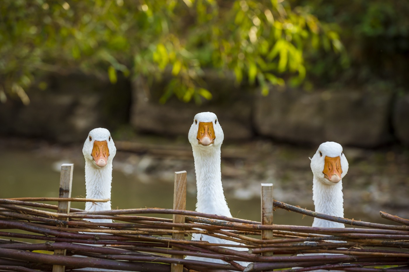Photo of three domestic geese, white with orange bills, staring directly at us over a woven wattle fence. They each have a stern look on their face. There's water behind them, then mud, then a wall made of stone blocks. Green branches of a tree are hanging down into the photo with a spot of sun on them.