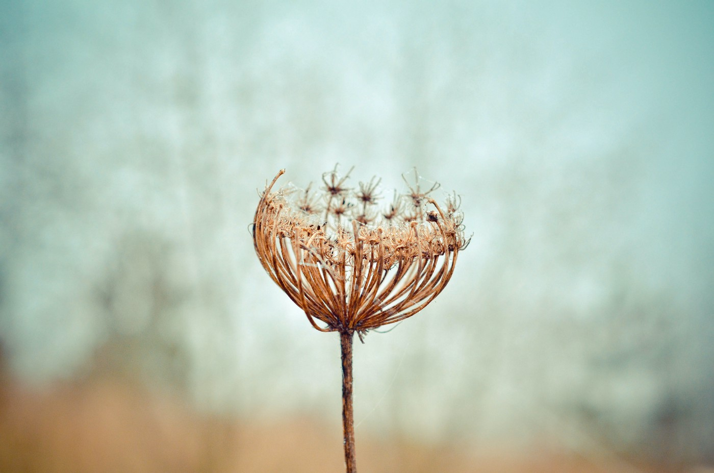 A photo of a dried up iron flower.
