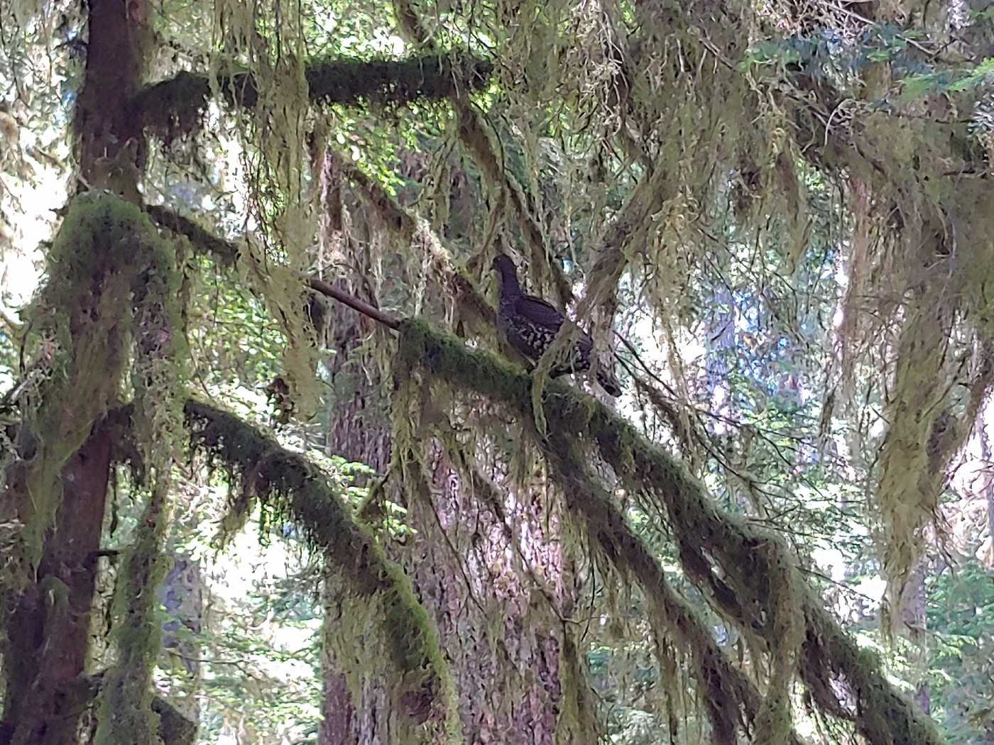 A forest grouse perches on a moss-draped tree branch in the Sol Duc River Valley.