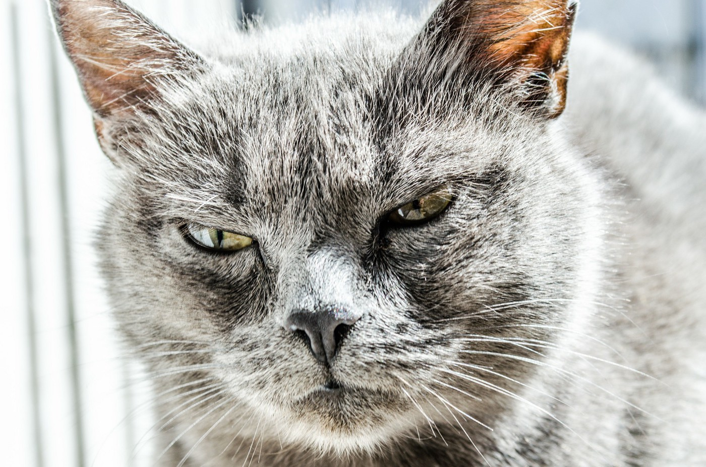 A slit-eyed grey cat looks peeved.