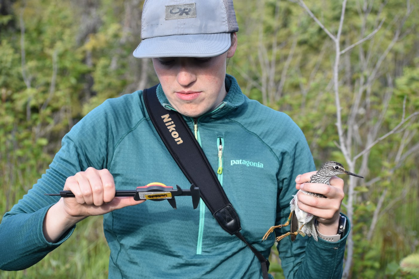 A biologist takes measurements of a lesser yellowlegs in her hand