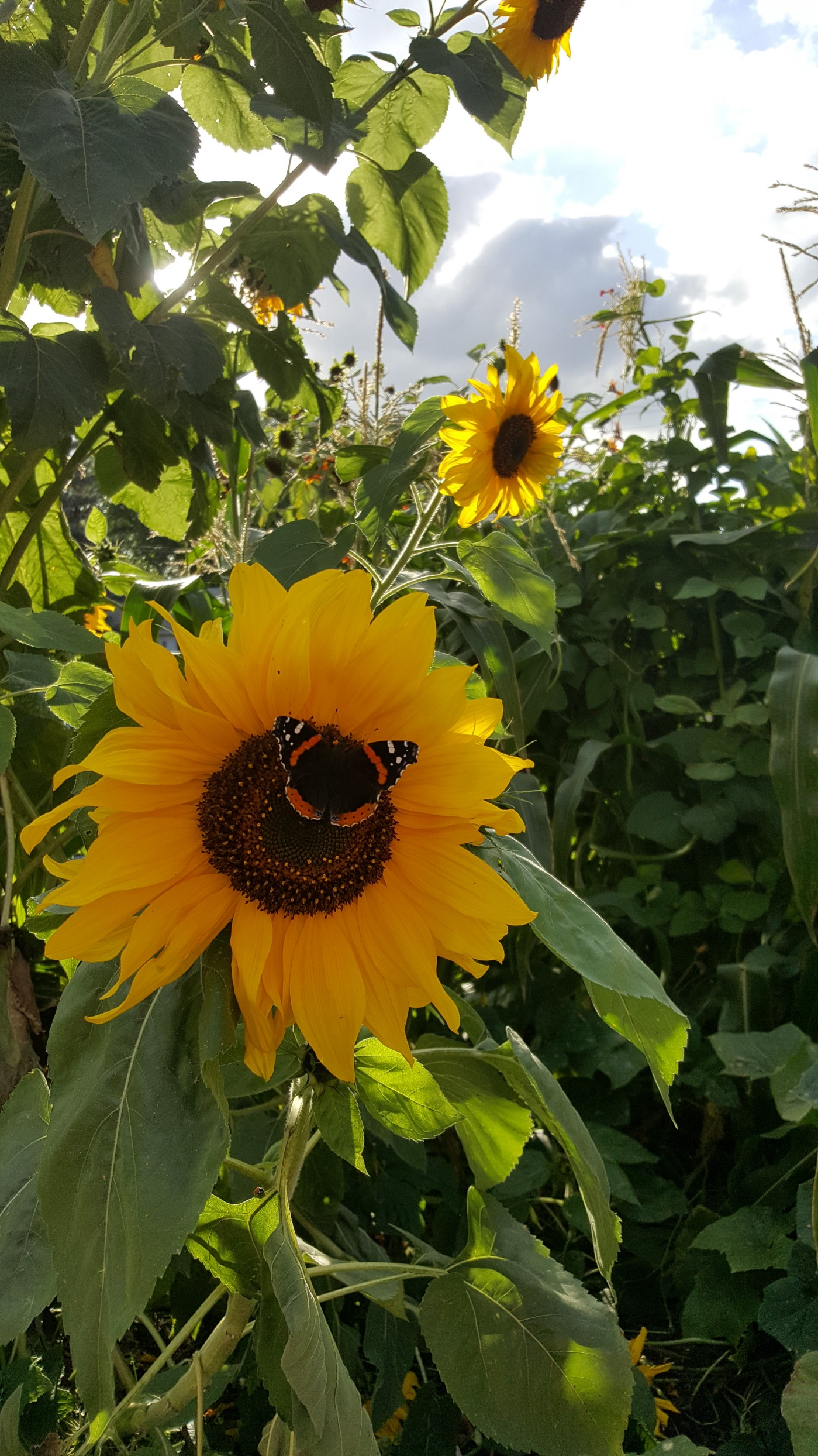 A monarch butterfly sitting in the center of a sunflower. A beam of light shines through the foliage of the plants in the background.