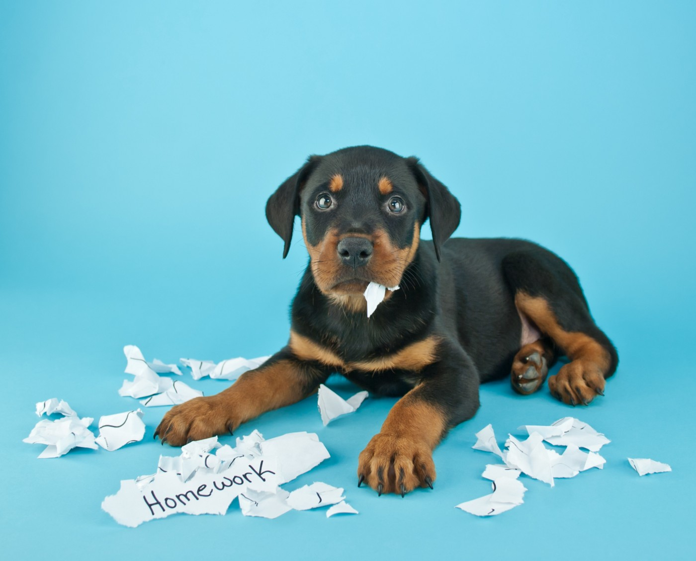 Hi there! BichoDoMato here. This is the Shutterstock description: Funny Rottweiler puppy that looks like he is eating someone's homework on a blue background with copy space