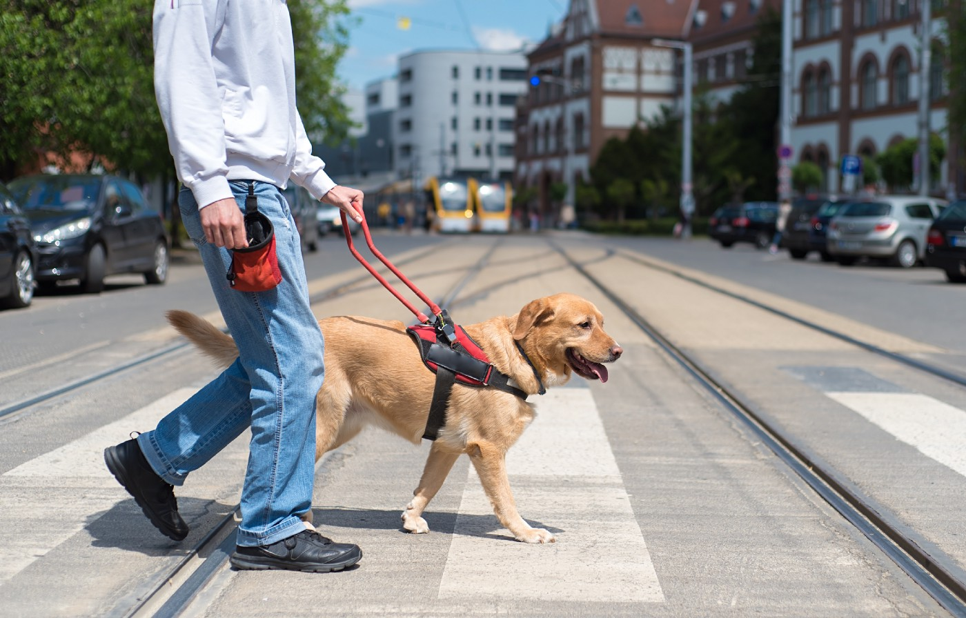 A labrador dog helping a blind person to cross the street.