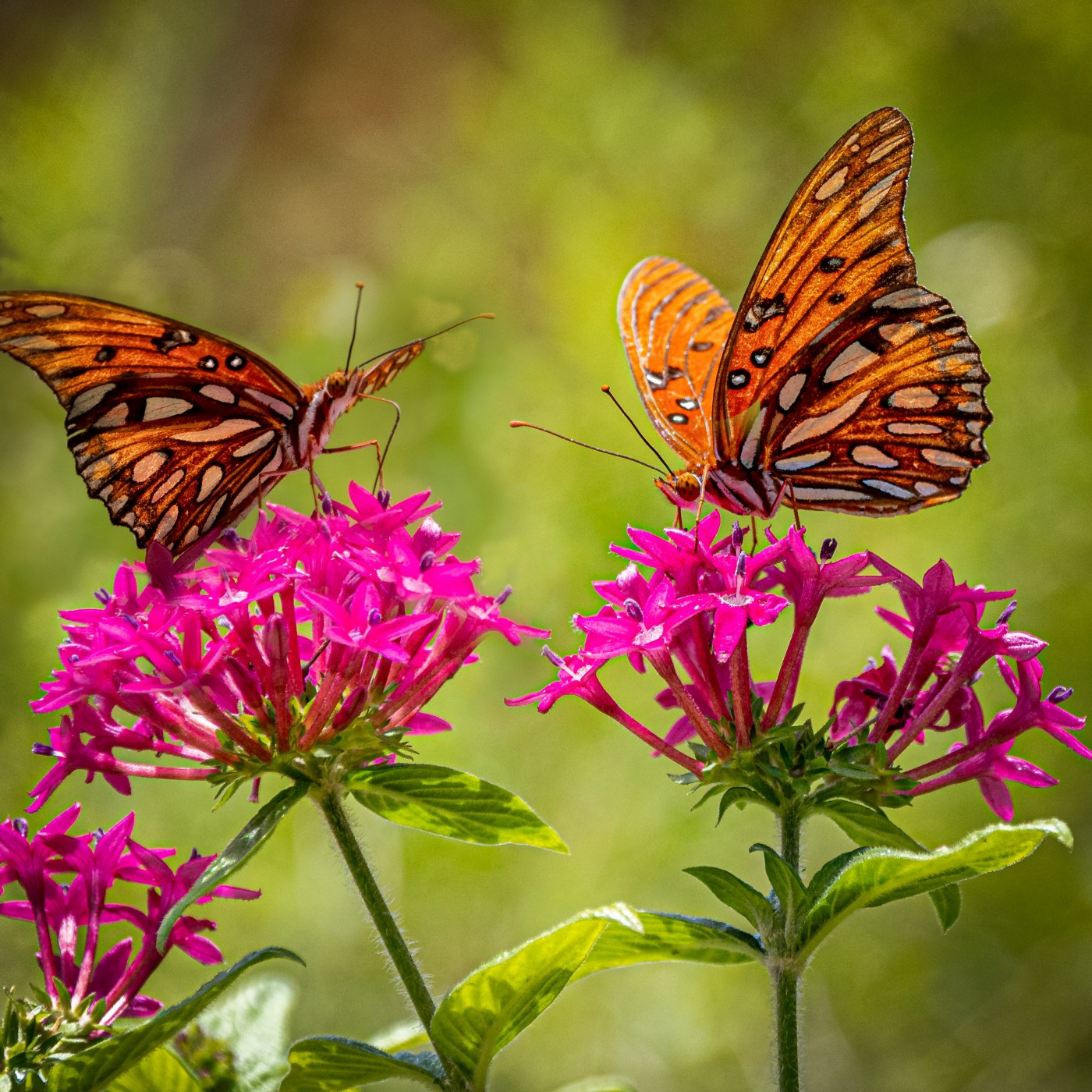 two orange and black butterflies resting on pink flowers