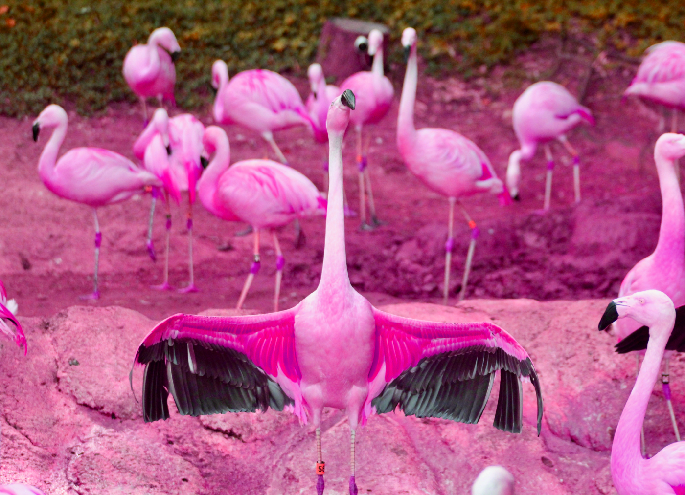 A flamingo spreads its wings, with other flamingos in the background.