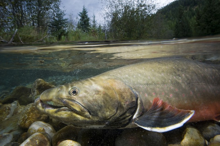 Photo of a bull trout adult in water of river. Photo by Joel Sartore/National Geographic Stock with Wade Fredenberg/USFWS