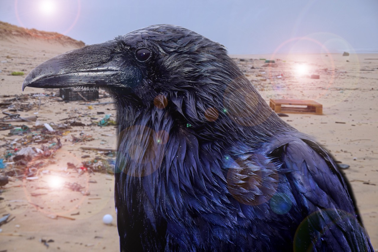 Raven on a landfill is a Vocal Media Doomsday Challenge story