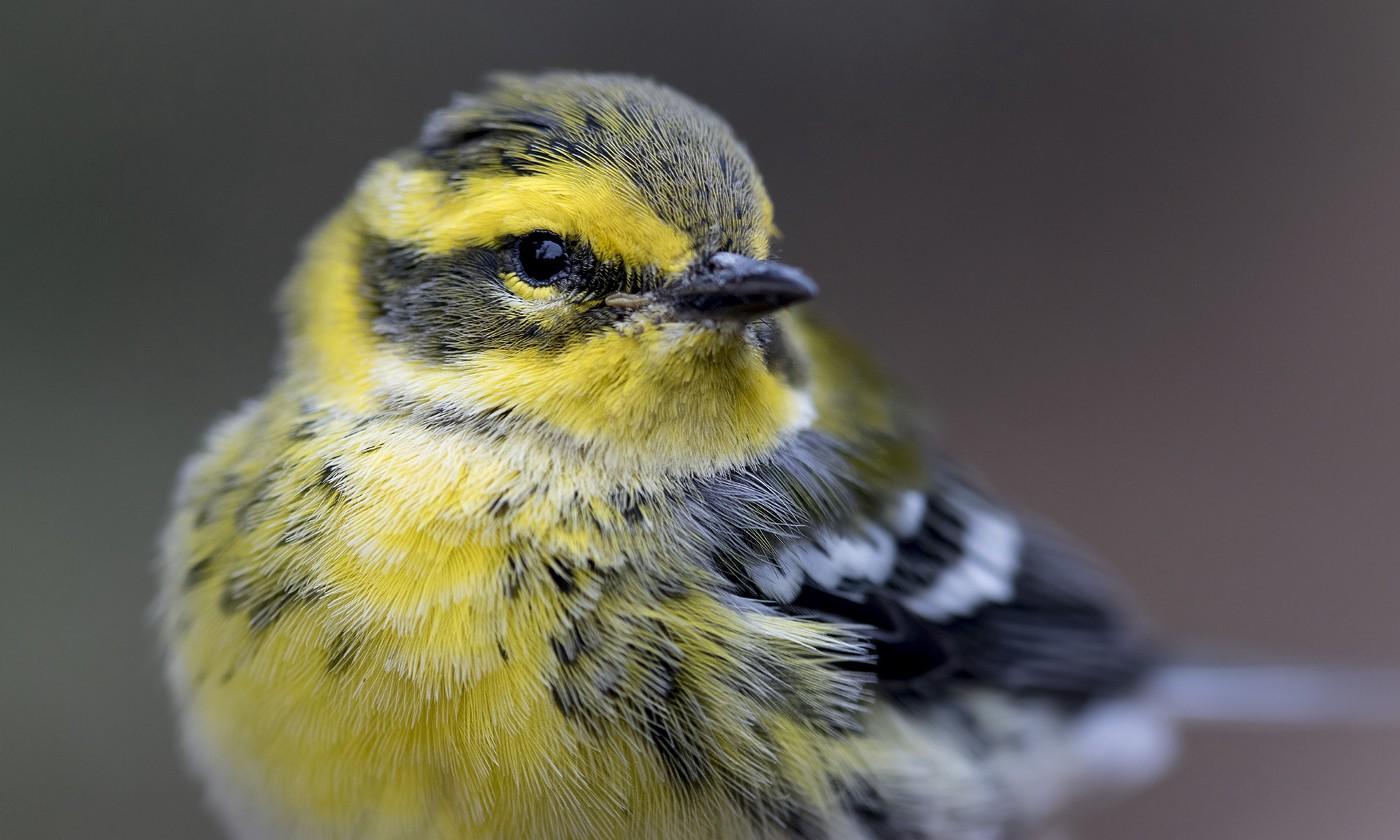 A close up of a Townsend's warbler showing a splash of yellow color on its chest