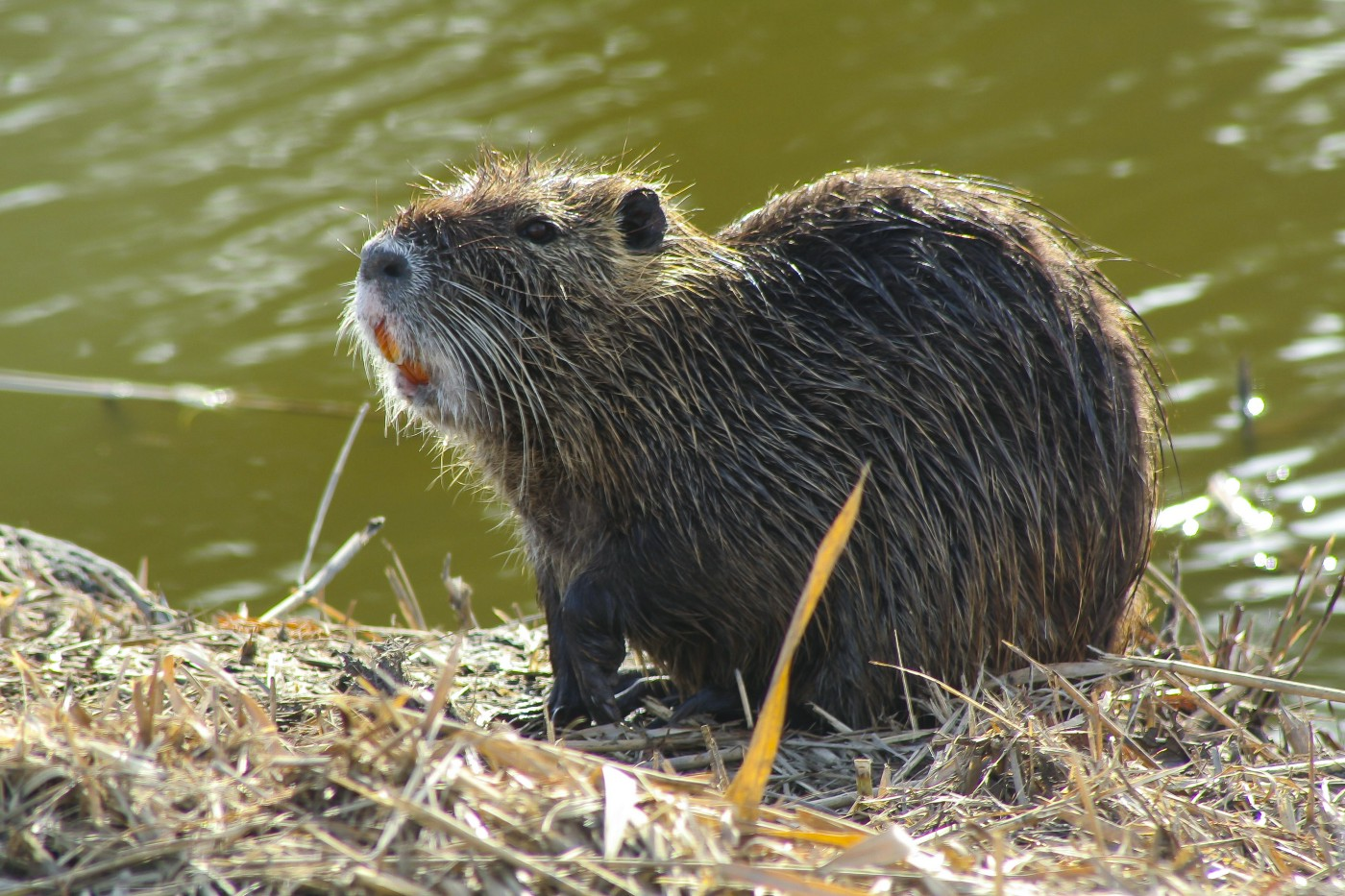 nutria at water''s edge