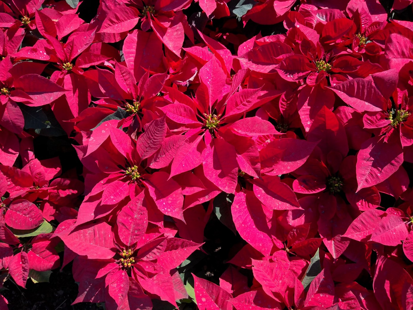 Cluster of red poinsettia flowers