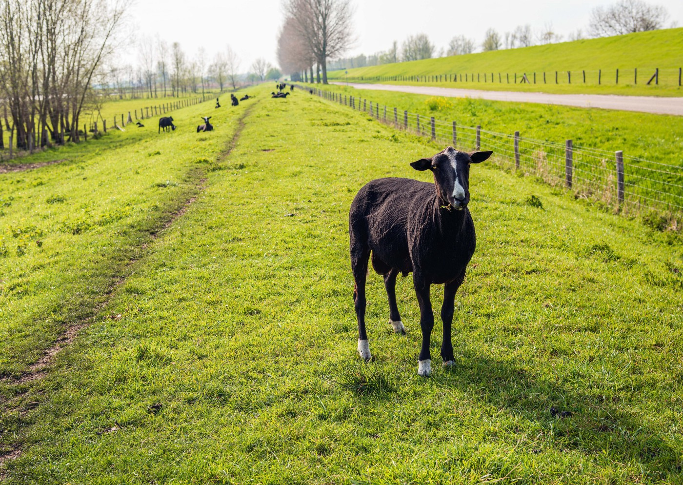 A newly shorn black sheep stands in the foreground of a green pasture, looking at the camera. There is A fence to its right and trees and more sheep lying down in the back left.
