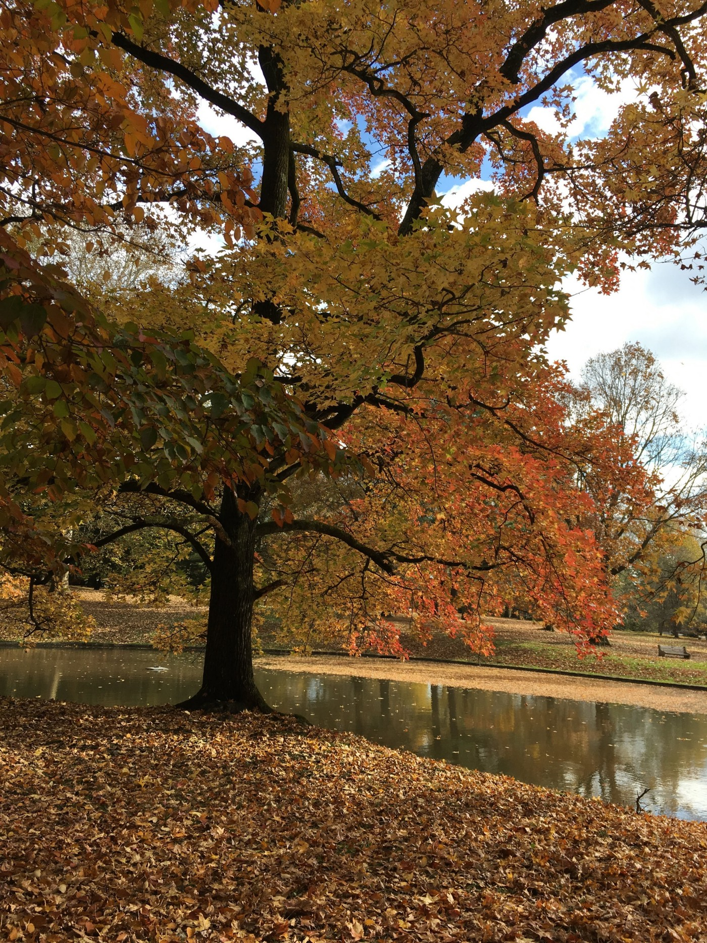 A large tree with colorful autumn leaves stands near a pond. The tree is reflected in the pond. In the distance fallen leaves scatter over grass.
