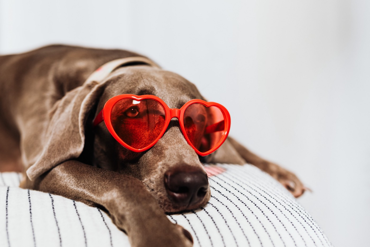 Brown great dane dog laying on a bed facing the camera wearing  red heart shaped sunglasses