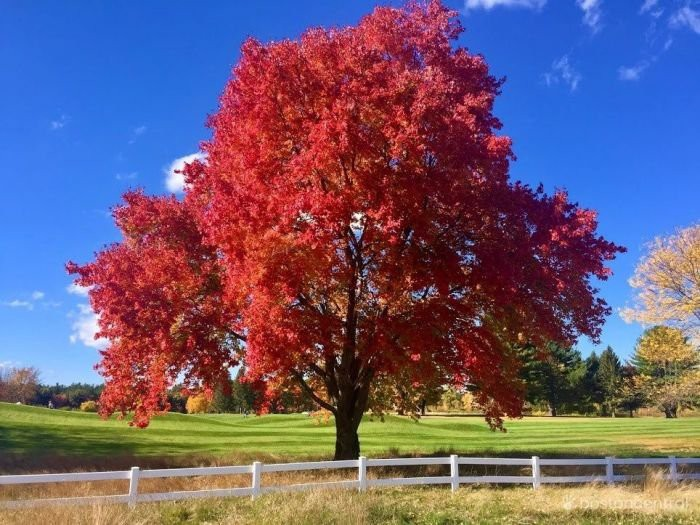 A tree with bright red leaves against the backrop of a beautiful clear sky.