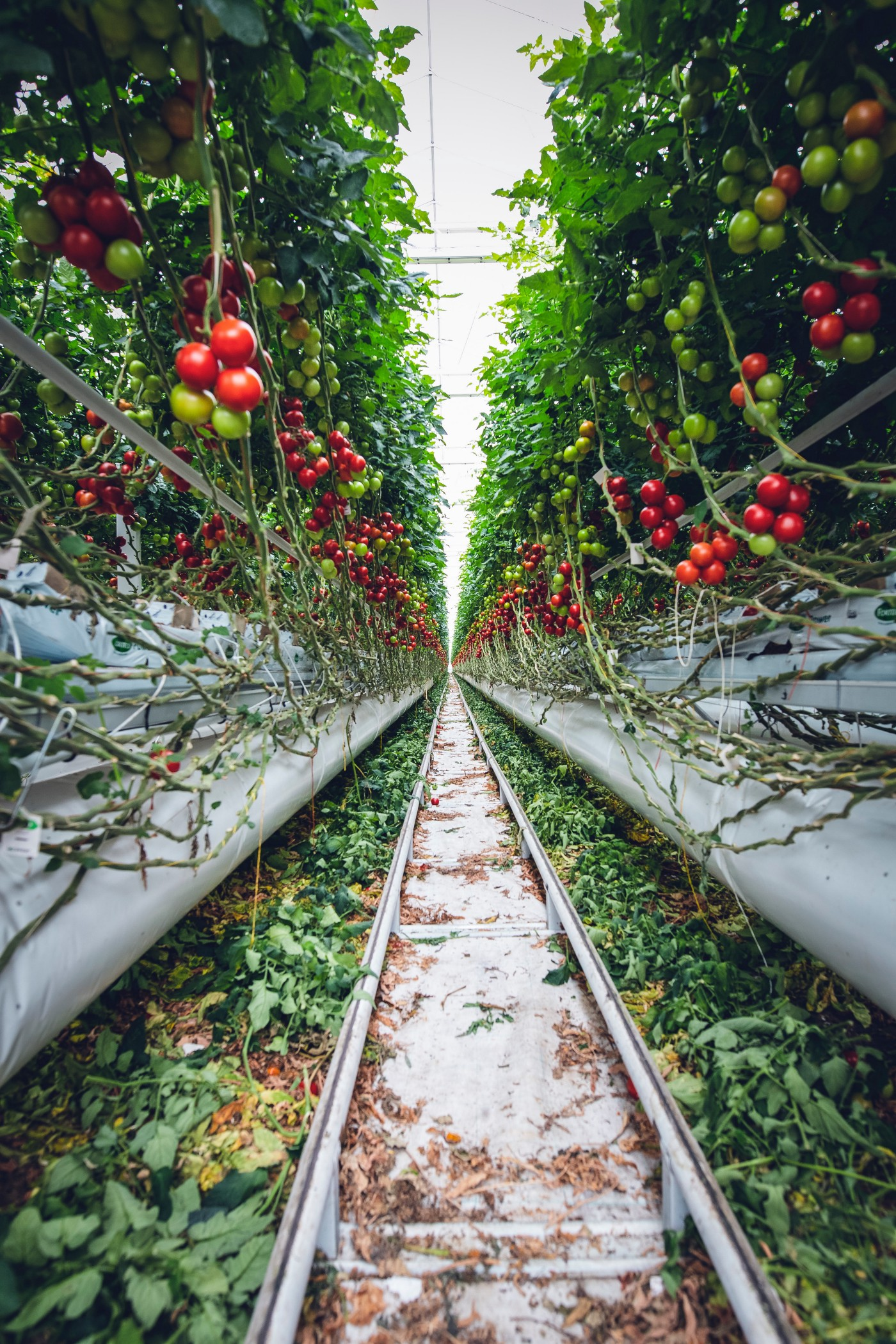 Poisonous tomatoes | Love Apple | Blessing Akpan Medium