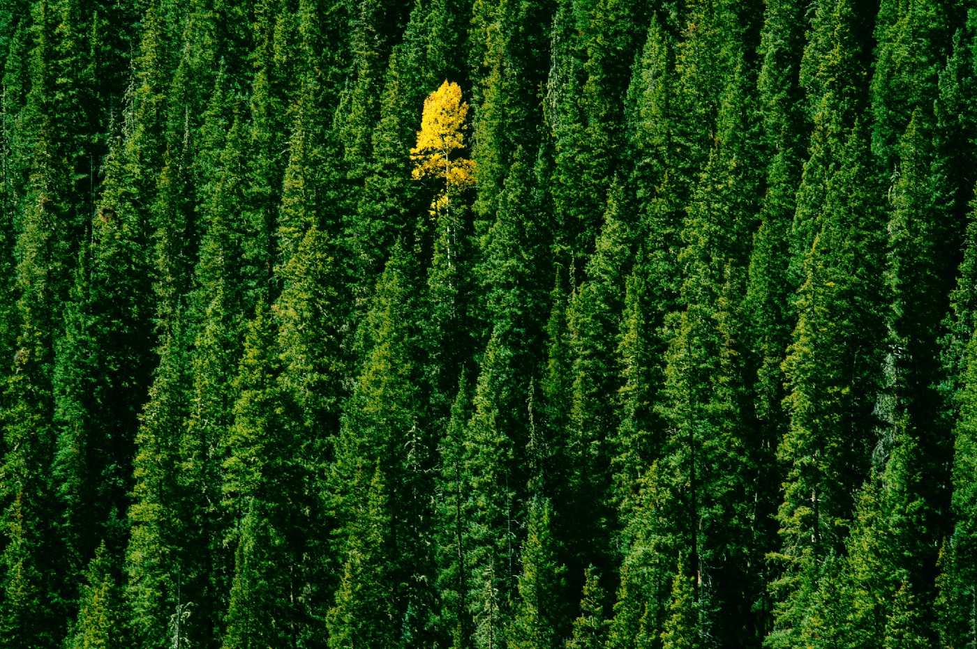 Single yellow tree in a green forest