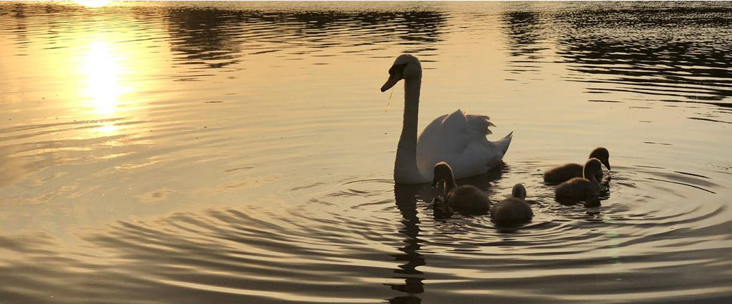 a swan and four cygnets with water rippling around them