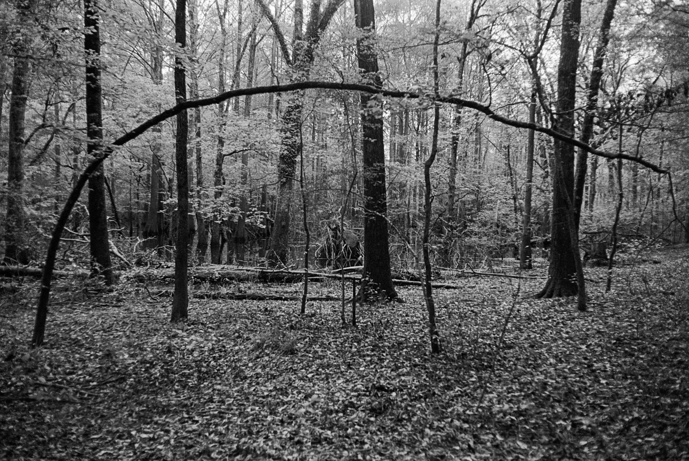 Black and white photograph of trees in a swamp, one bend over across the whole frame