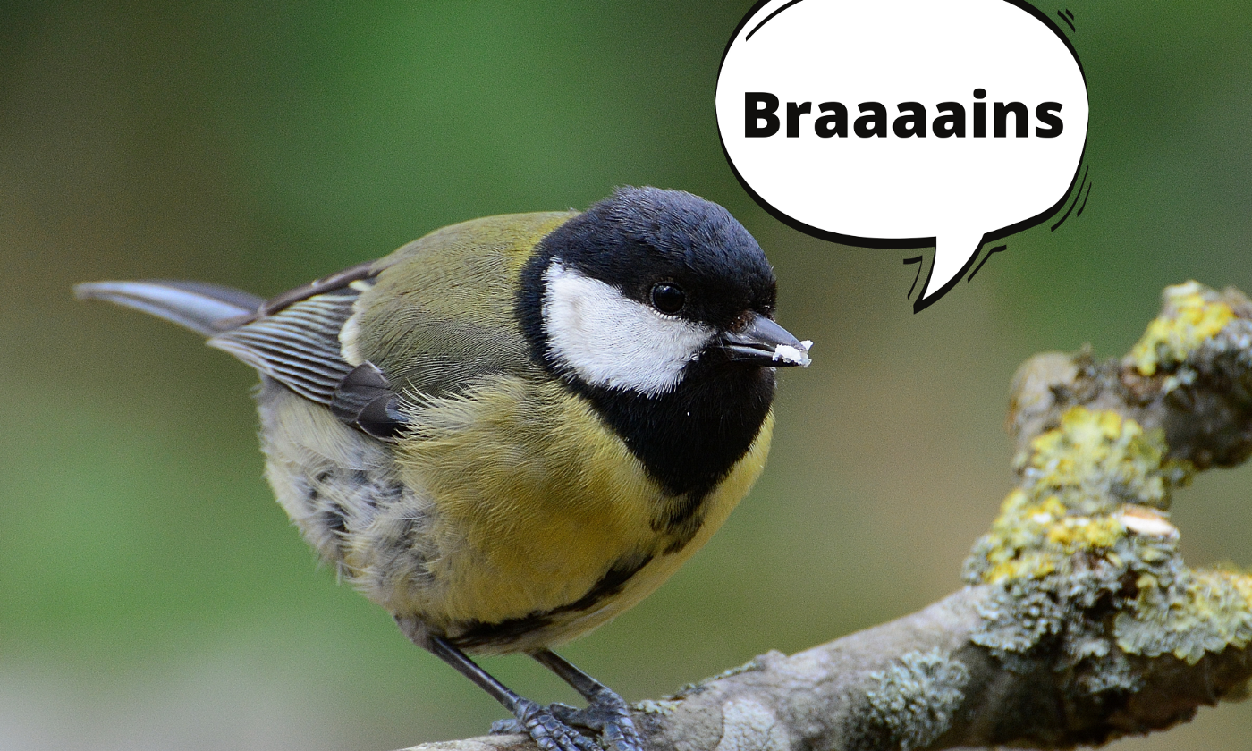 great tit saying braaains