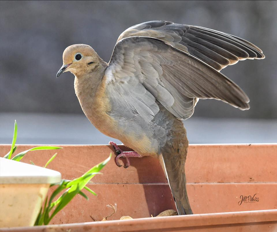 a mourning dove stretching its wings