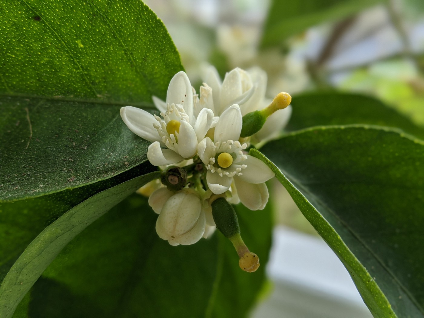 Lime tree with flowers and young limes