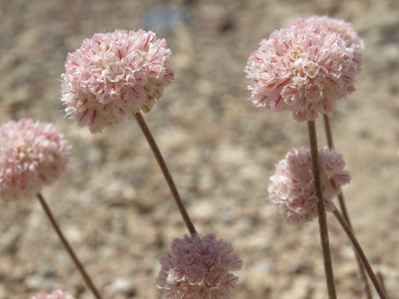 four light pink clustered flowers