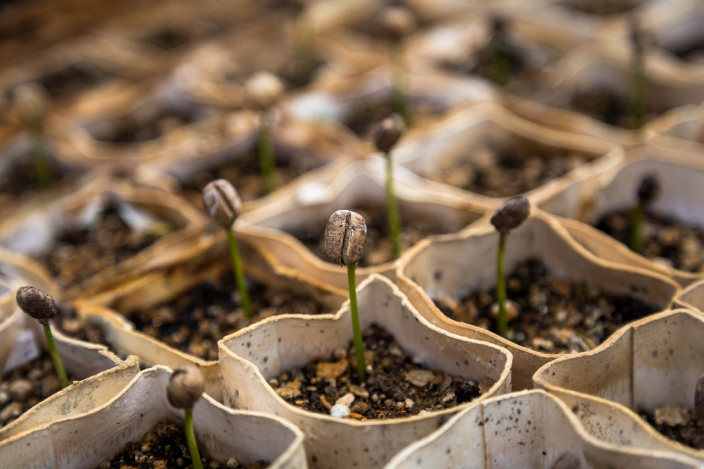 Coffee seedlings sprouting from small cloth bags.