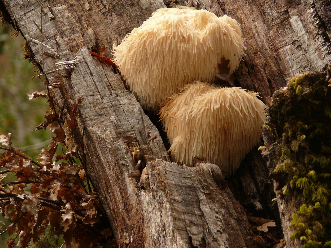 two lion's mane mushrooms on a tree