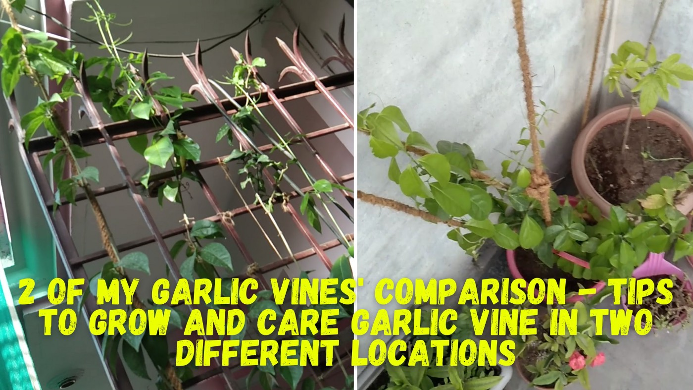 2 of my Garlic vines' comparison- Tips to grow and care of Garlic vine in two different locations