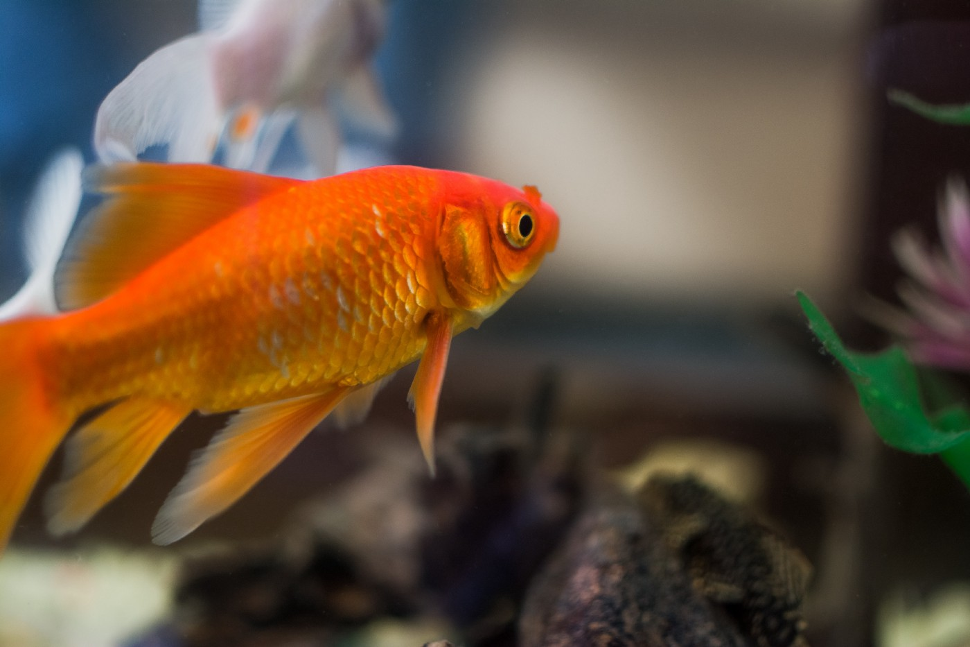 Goldfish looking away from camera.