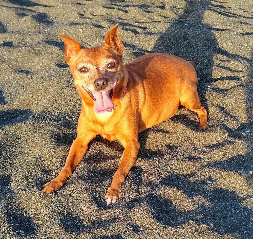 Happy dog lays on the black sand beach, right before sunset, in the golden hour.