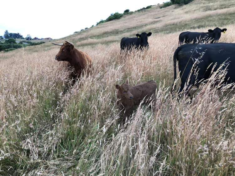 Brown and black cattle on a grassy hillside.