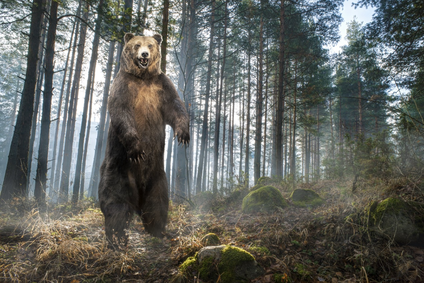 Standing Grizzly in a wood.