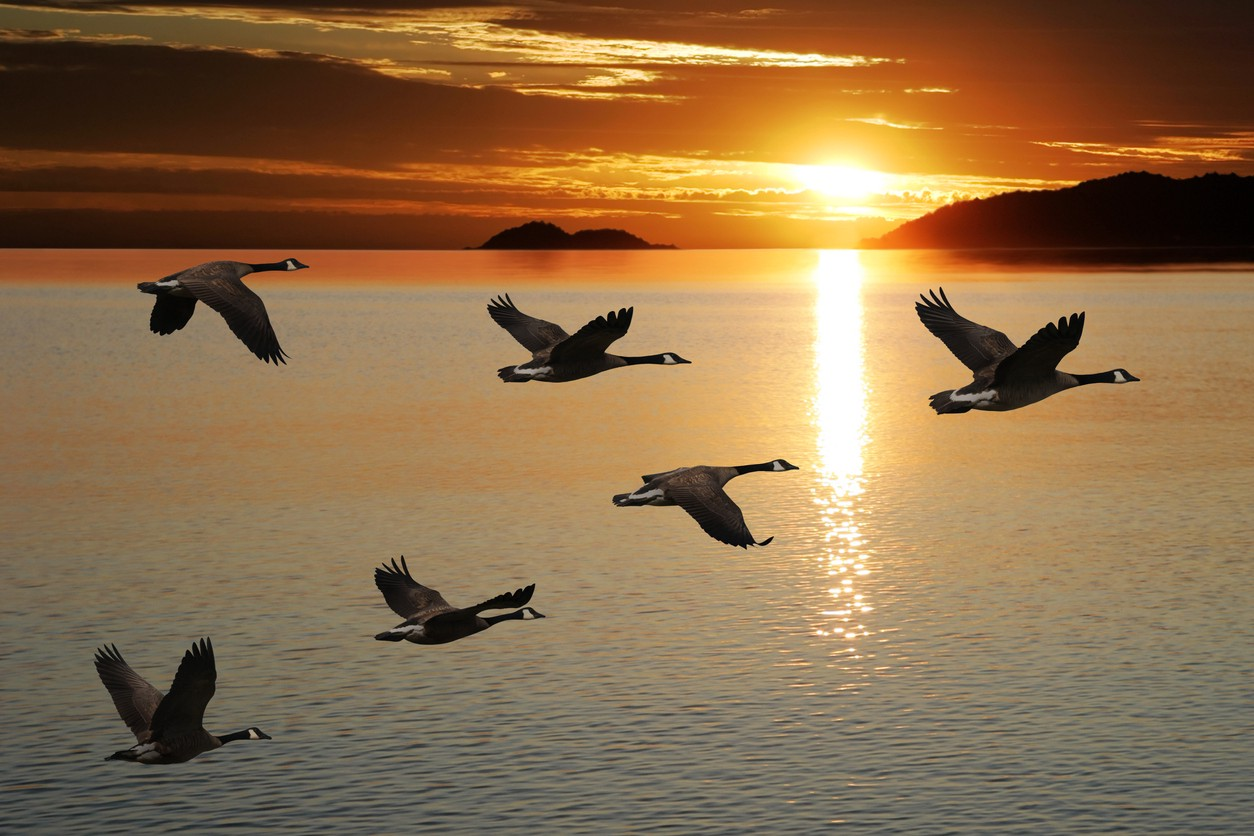Image of geese flying.