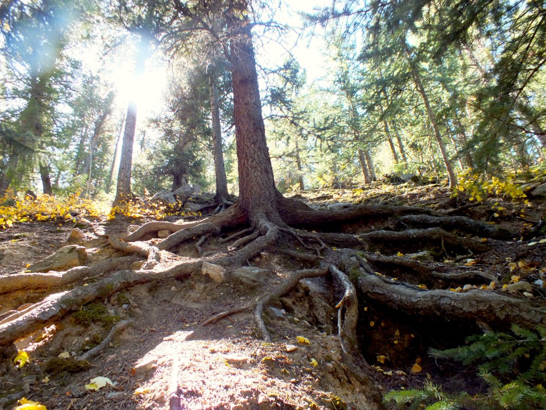 Exposed roots of a ponderosa pine tree on a steep slope in a coniferous forest.