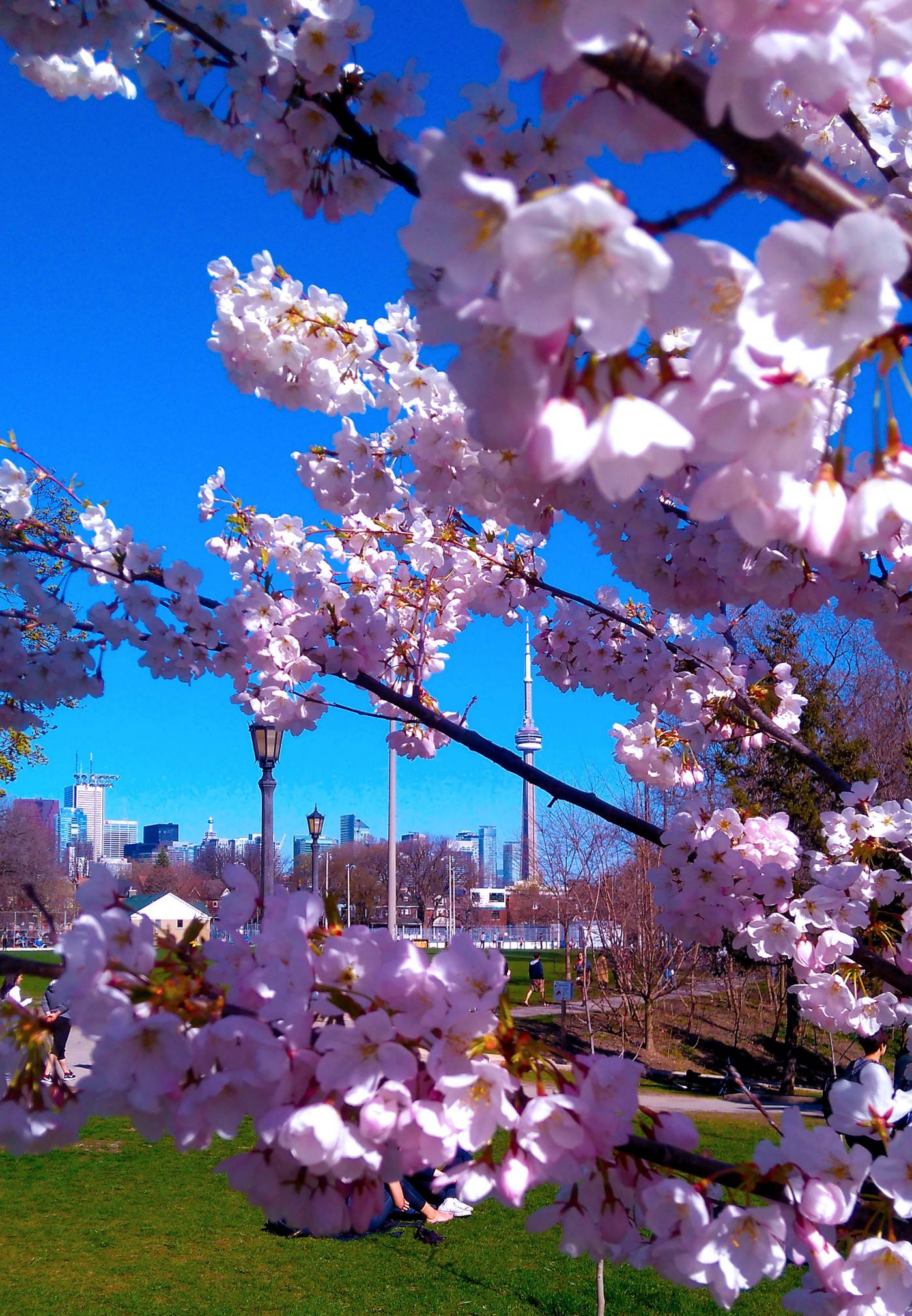 The Toronto CN Tower appears through cherry blossom branches against a blue sky.