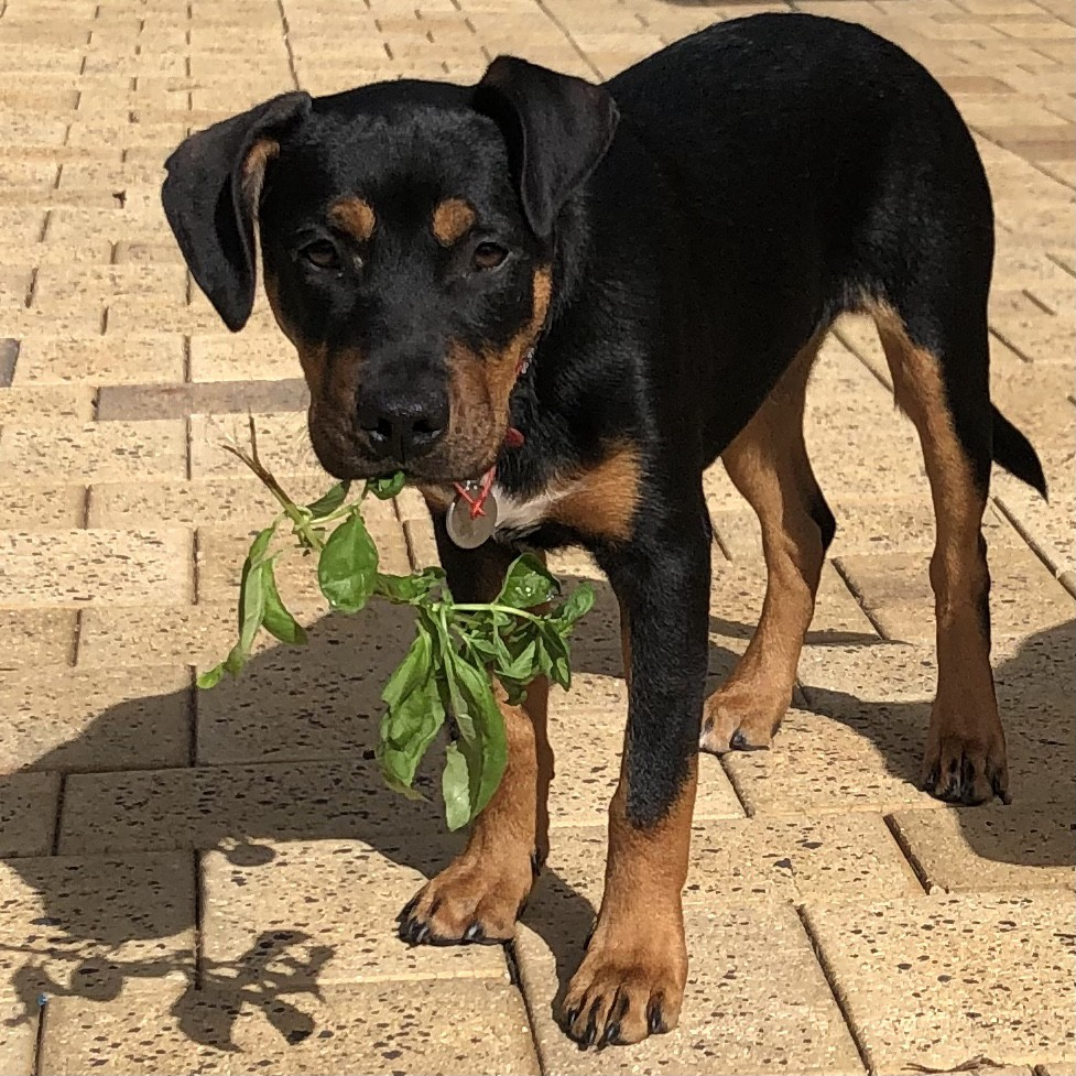 Black and tan puppy with a chunk of basil he has pulled for the garden.