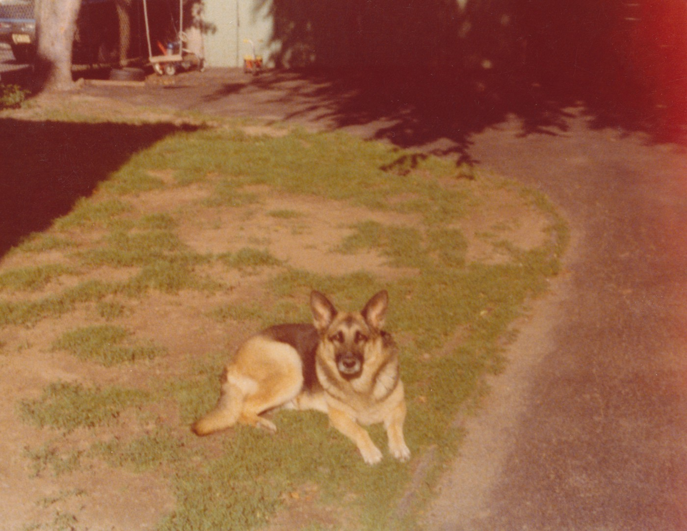 Vintage photograph of a German shepherd dog.