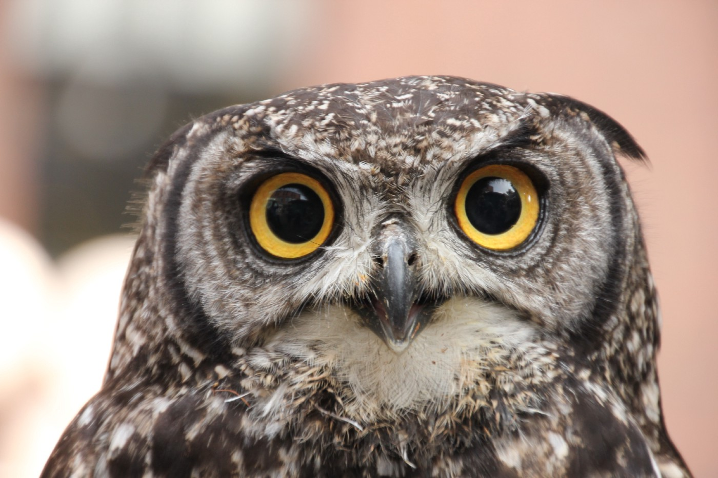 Two yellow eyes of an owl